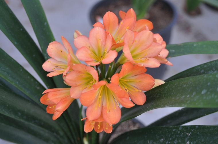 A Seedling with one leave Clivia N°72 Mistery Girl X New Hope