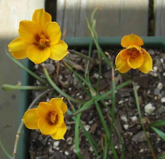 RARE 3 bulbs Rain Lily Zephyranthes Sunset seed strain habranthus