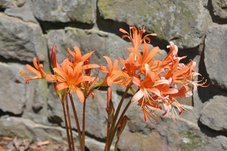 Orange Spider Lily, Surprise Lily Lycoris sanguinea