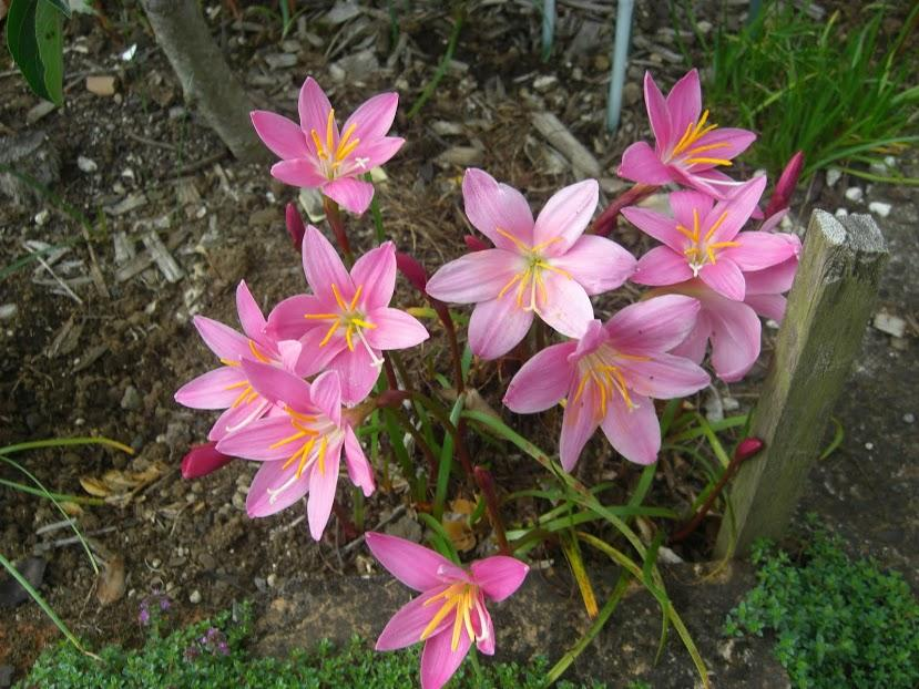 Guernsey Lily 0.5-3//4in diameter Pale pink Nerine bowdenii 5 small bulbs