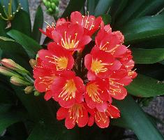 Clivia miniata Belgian Hybrid (c) copyright by Shields Gardens Ltd.  All rights reserved.
