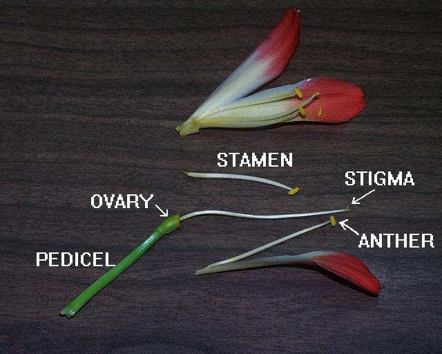 Clivia Flower anatomy (c) copyright 2003 by James E. Shields.  All rights reserved.